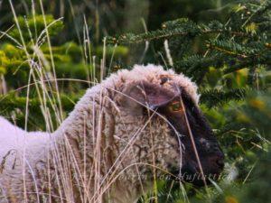 Schaf sucht guten Hirten