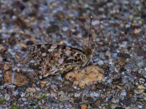 Schmetterling auf Kiesweg