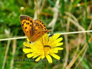 Schmetterling, Käfer, Blüte