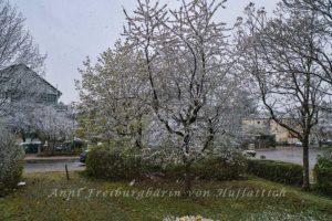 Schnee auf Kirschblüten