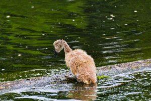 Einsames Schwanenküken -- Ausnahmsweise nicht im Rosensteinpark