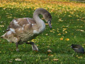 Schwan im Rosensteinpark auf der Pirsch