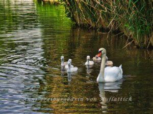 Schwanenfamilie im Rosensteinpark