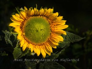 Letztjährige Sonnenblume aus dem Rosensteinpark