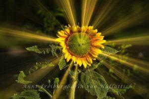 Sonnenblume aus dem Rosensteinpark