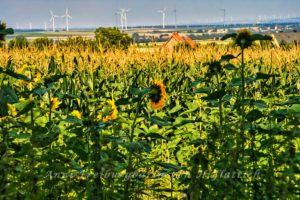 Sonnenblumen in Norddeutschland
