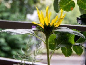 Die Blüte sieht ziemlich mickrig aus