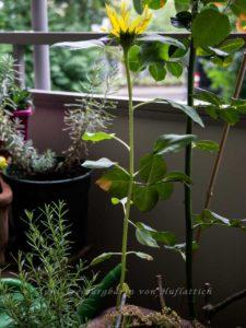 Ein einsames Sonnenblümlein im Blumenkübel