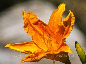 Blüte einer Taglilie