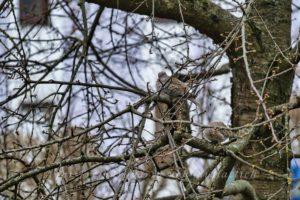 Taube im Kirschbaum