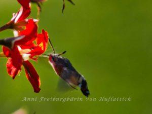 Taubenschwänzchen an Blüte