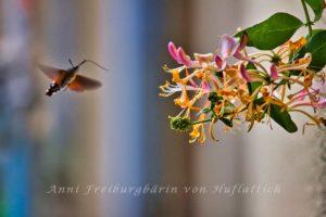 Taubenschwänzchen und Geißblatt