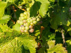 Helle Trauben für reifere Weine