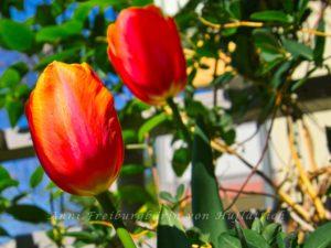Leckere Tulpen