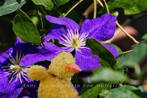 Ziemlich dreckige Ente(?) vor blauer Waldrebe