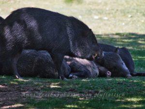Schlafwandelndes Wildschwein