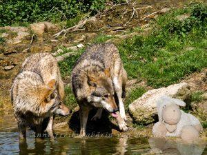 Zwei Wölfe und zwei Schafe. Zeichen einer gelungen Integration