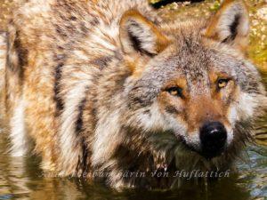 Harmloser Streichelwolf