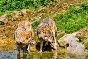 Baden mit Wolf
