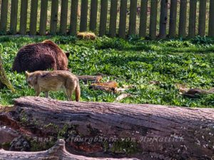 Wolf und Riesenhackbraten