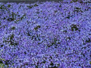 Blau blühende Blumen