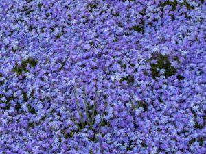 Blau blühende Blumen, größer