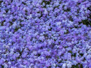 Blau blühende Blumen, noch größer