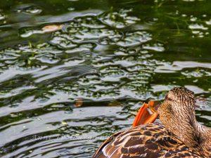 Hungrige Ente im Rosensteinpark