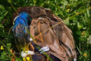 Ente nach durchzechter Nacht im Rosensteinpark