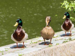 Die drei Enten