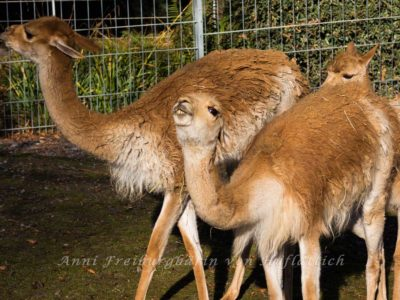 Lamas können auch klasse grinsen und spucken!