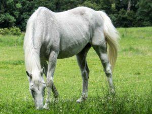 Ein Pferd bei Schloss Solitude