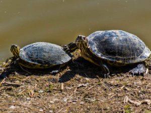 Schildkröten: Wieselflinke Lorbasse