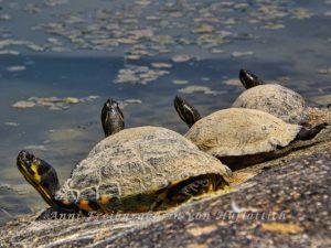 Schildkröten im Rosensteinpark