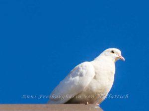 Weiße Taube im Rosensteinpark